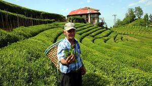 830 kilo üretilen beyaz çay, kilosu 4 bin liradan satışa çıktı