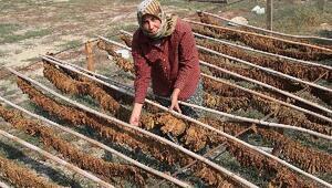 Tütün çiftçisi destek bekliyor