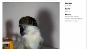 İnternetten maymun satışı