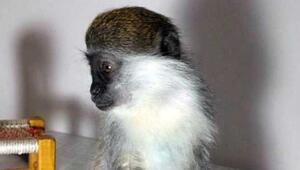 İnternette maymun satışı Yakında zürafa, zebra, çita...