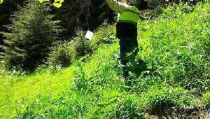 Ladin ormanlarını istila eden böceğe karşı biyolojik mücadele