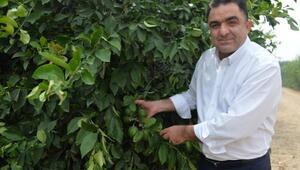 Türkiyenin limon deposu Adana ve Mersinde yüz güldüren hasat