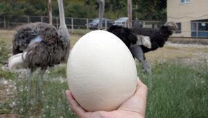 Deve kuşu yumurtasının boşu 100 liradan satılıyor