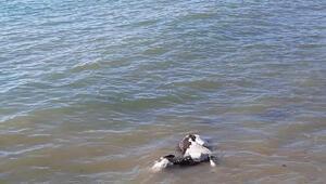 Şarköyde deniz kenarında hayvan ölüsü bulundu