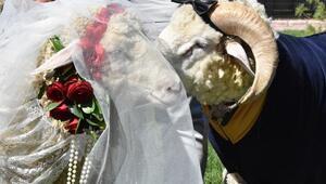 Koç ile koyun için sembolik düğün yaptı, temsili nikah şahidi Pascal Nouma oldu