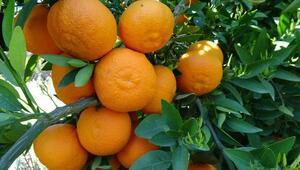 Vitamin deposu mandalinada rekolte düşük