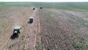 Biçerdöverle bir günde, 500 işçinin topladığı pamuk toplanıyor