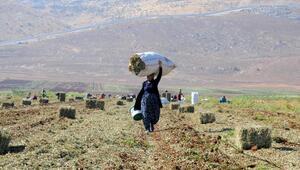 Hasat artığı yer fıstıklarını toplamak için tarlaya koştular