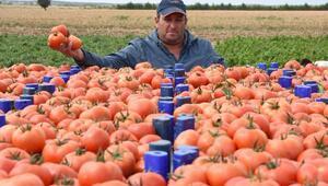 Çanakkalede domates üreticisinin yüzü güldü