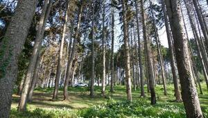Atatürk Köşkü ormanındaki ladin çamlarının kuruma nedeni belirlendi