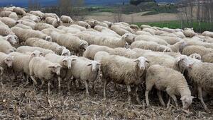 Koyun hırsızlığı şüphelilerinden 2si tutuklandı