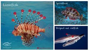 Akdeniz'de insan sağlığı için 10 tehlikeli yabancı türe dikkat