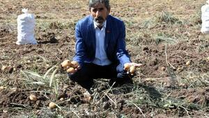 Türkiyenin patates tohumu ihtiyacını Sivas karşılıyor