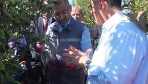 Cumhurbaşkanı Yardımcısı Oktay, Yozgatta elma hasadına katıldı