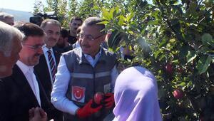 Cumhurbaşkanı Yardımcısı Oktay, Yozgat'ta elma hasadına katıldı