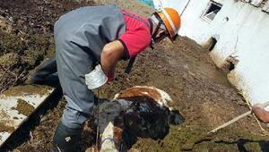 Gübre çukuruna düşen ineği itfaiye ekibi kurtardı