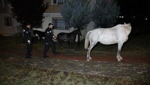 Edirne polisi, gece yarısı başıboş atları kovaladı