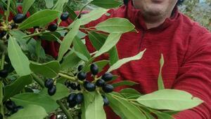 Ormandan topladığı defne yaprağının tonunu 9 bin liradan satıyor