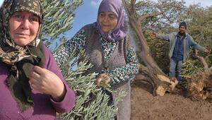 Yırcada yeniden oluşturulan zeytinlikte ilk hasat