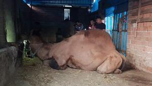Şampiyon deve sahibini öldürdü