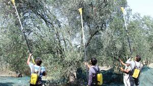 Ayvalık'ta zeytin üreticisinin hasat coşkusu