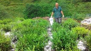 Çay tarımında mucize; 3 kat verim elde edilen gübre bulundu