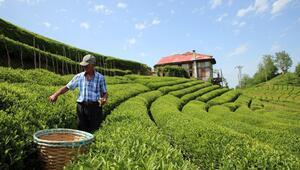 Çay tarımında mucize