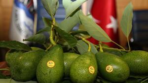 Alanyada avokado marka oldu