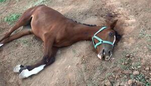 Şanlıurfada şüpheli yarış atı ölümleri