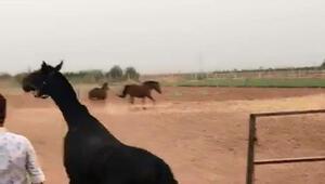 Şanlıurfada son bir ayda 15 yarış atı öldü... İşte şüpheli ölümlerle ilgili ilk inceleme sonucu...