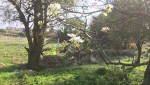 Armut ağacı Ekim ayında çiçek açtı
