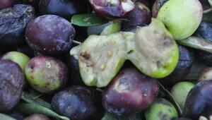 Kazdağlarında zeytin sineği ürünlerin yüzde 80ine zarar verdi