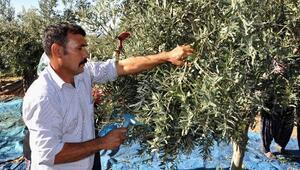 Osmaniyede zeytin hasadına başlandı