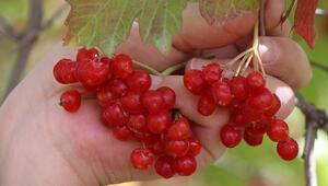 Mucize bitkinin faydaları kanıtlandı