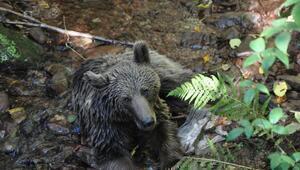 Yediği yiyecekten zehirlenen ayı tedavi edildi