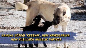 Kangal köpeği Kezban, hem yavrularına hem kuzulara annelik yapıyor