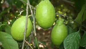 Limon üreticisi dertli