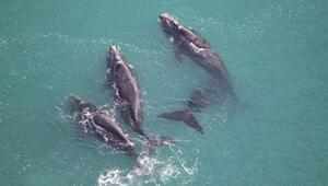 Bilim insanları balinaları uzaydan sayıyor
