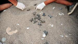 Çıralıda 22 yılın rekoru: 7 bin 612 caretta caretta yavrusu denizle buluştu