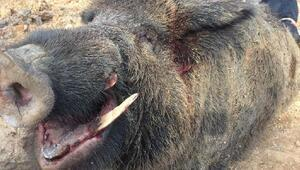 350 kiloluk domuz avladılar