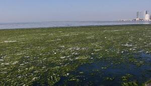 İzmirde deniz üstü marulla kaplandı