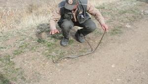Yolda hareketsiz kalan 2 metrelik yılan doğal yaşama bırakıldı