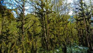Fırtına Vadisindeki şimşir ormanları kuruyor