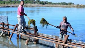 Kanallardan gelen tatlı su, Akyatan Lagününü tehdit ediyor