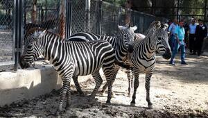 Hayvan Parkı'nın yeni gözdeleri: Zebralar