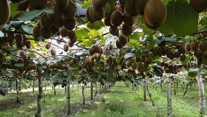 Bahçeye çevirilen bataklıkta 450 ton kivi üretildi