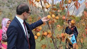 Çukurca'da yetiştirilen Trabzon hurmasının hasadına başlandı