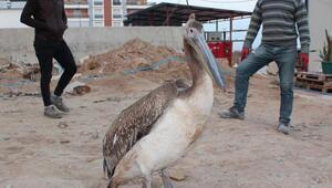 Bitkin ve yaralı pelikan, tedavisinin ardından doğaya bırakıldı