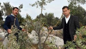 Domuzlar zeytin ağaçlarına zarar verdi