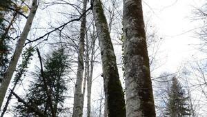 Küre Dağları Milli Parkındaki yaşlı ağaçlar fotoğraf envanterine alındı